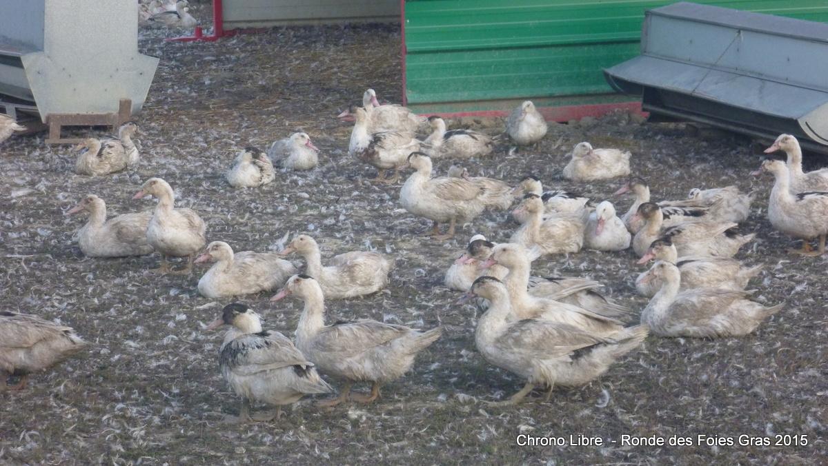 102015 ronde des foies gras mauvezin CL SC (28)